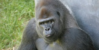 Downing Gorilla Forest Exhibit <br/> Sedgwick County Zoo