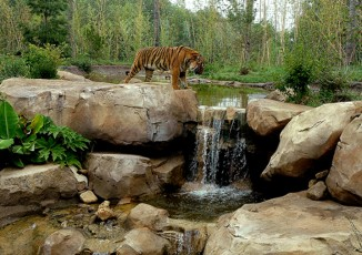 Slawson Tiger Trek <br/> Sedgwick County Zoo