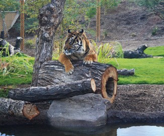Isle of the Tiger </br> Phoenix Zoo