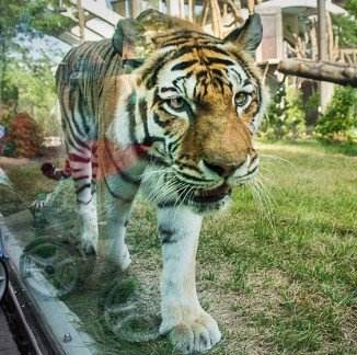 Rosebrough Tiger Passage <br/> Cleveland Metroparks Zoo